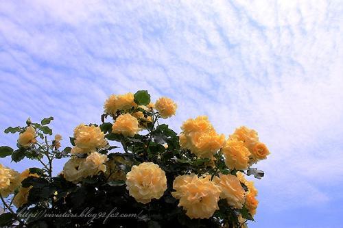 黄色いばらと空