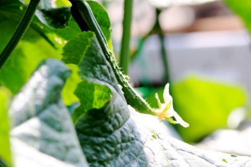 家庭菜園04