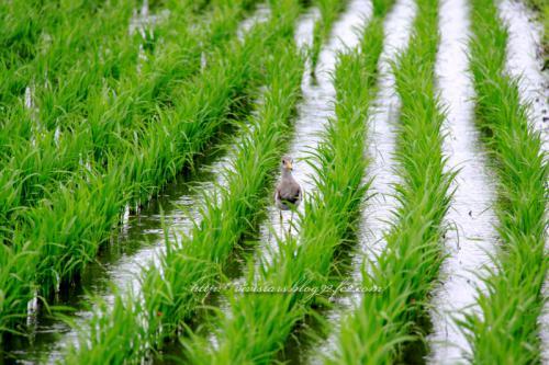 雨の日のケリさん幼鳥