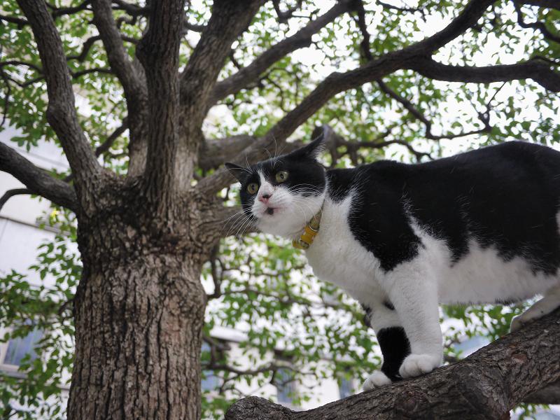クスノキに登った友だち猫