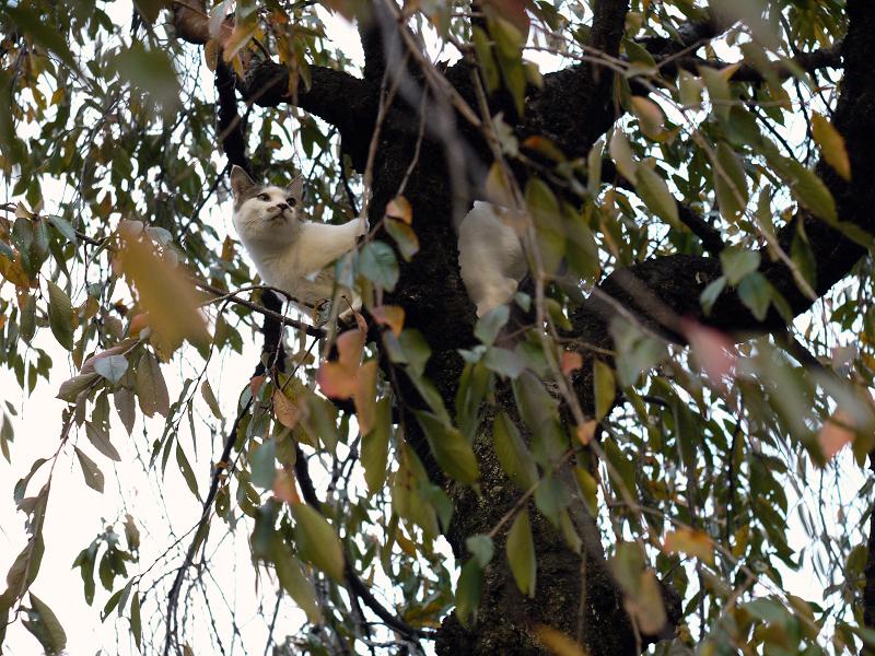 サクラの木に登った友だち猫1
