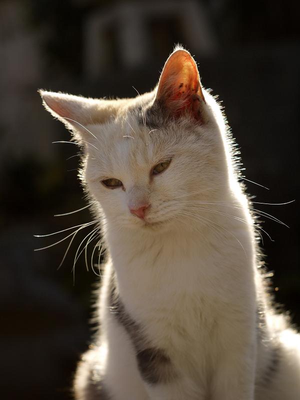 逆光のネコ1