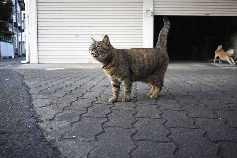 ガレージの前で鳴くネコ