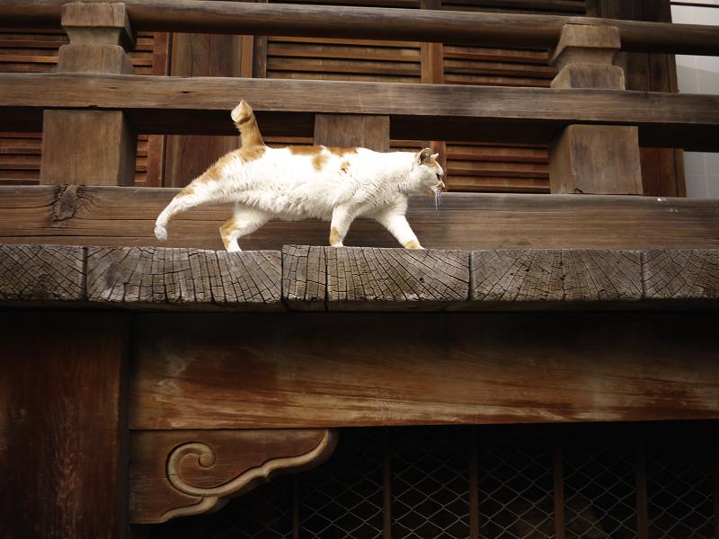 濡れ縁と白茶猫