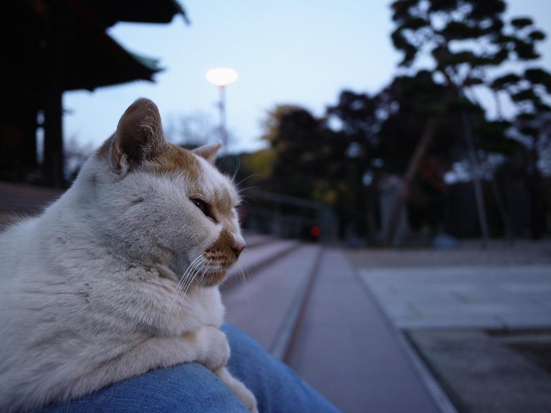 夕暮れと白茶猫