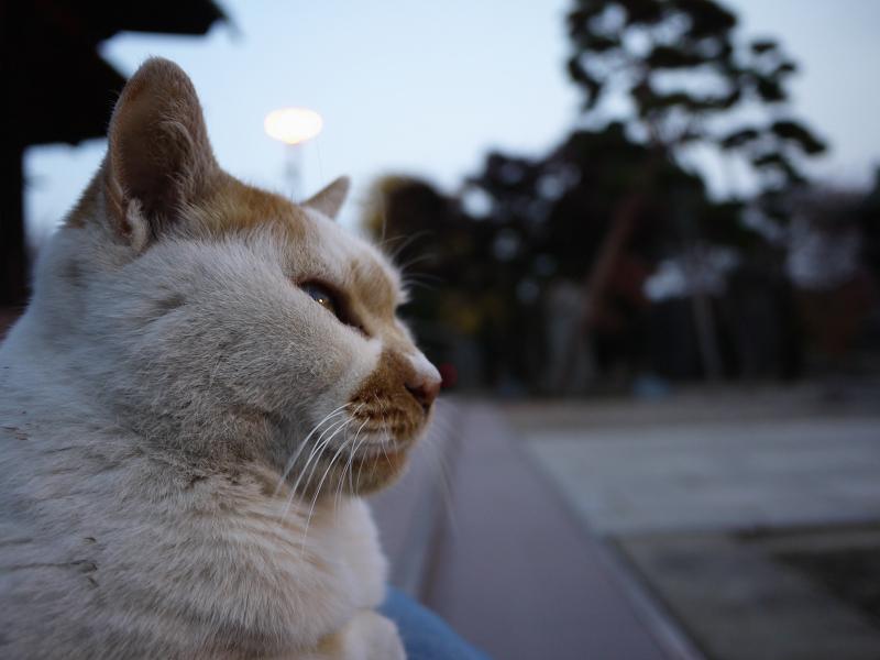 夕暮れと白茶猫のアップ