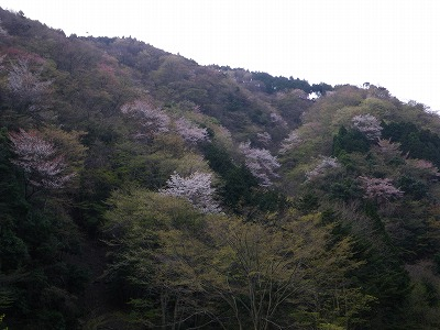 山桜が残っている