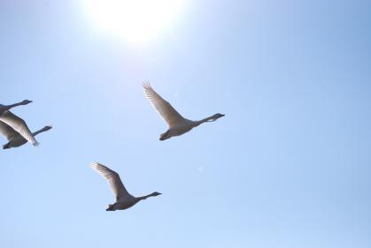 川島町白鳥