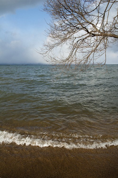 琵琶湖タチヤナギ