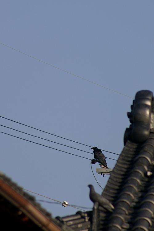 crow_13_1_31.jpg
