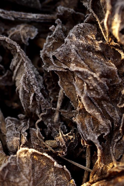 バジルの霜