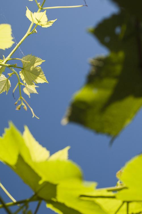 grape_13_6_15_1.jpg