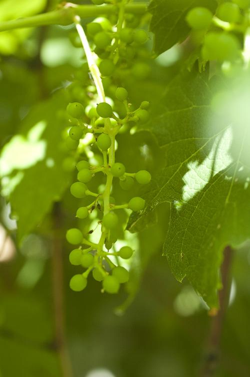 grape_13_6_15_2.jpg