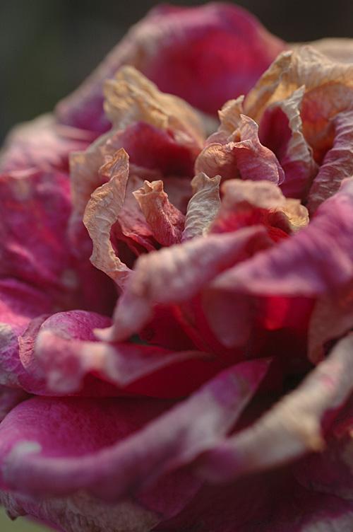 rose_13_1_7_1.jpg