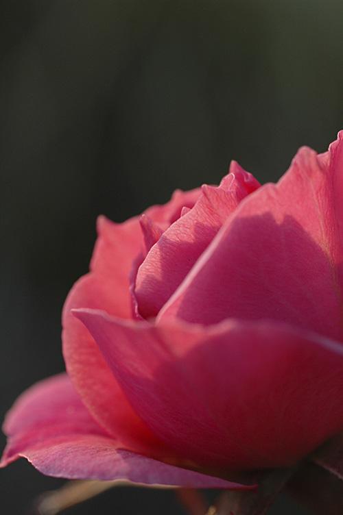 rose_13_1_7_2.jpg