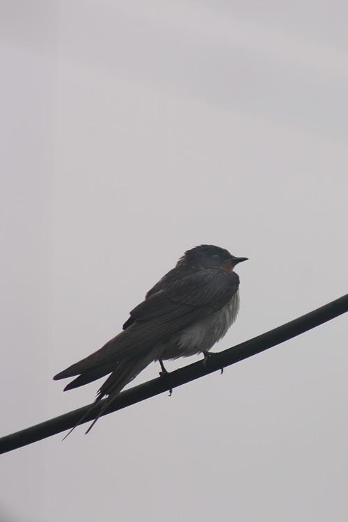 swallow13_6_11_1.jpg