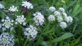 Hセリの花