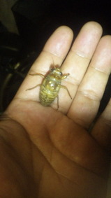 Bセミ幼虫