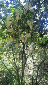 自然薯の葉っぱ