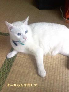 青い目の白猫