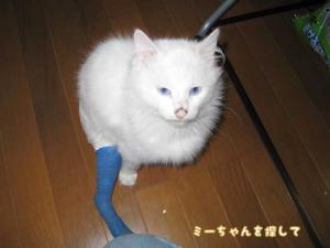 耳の聞こえない青い目の白い猫