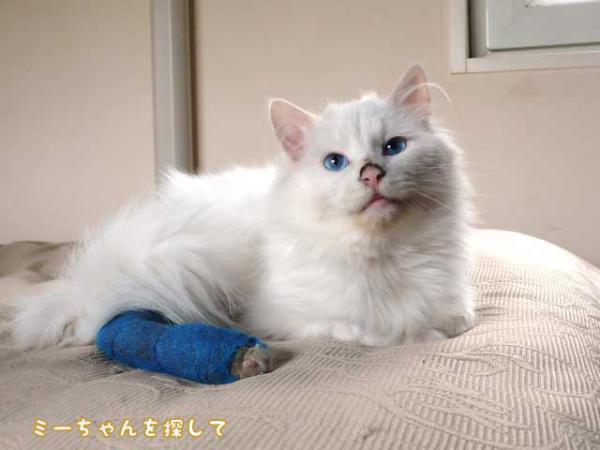 青い目の白い猫