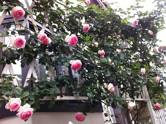 5・19の薔薇