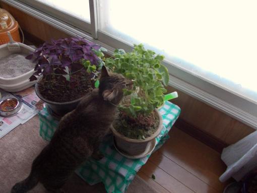 20130115_鉢の葉っぱを食するトム
