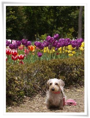 miel_tulip1