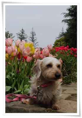 miel_tulip2
