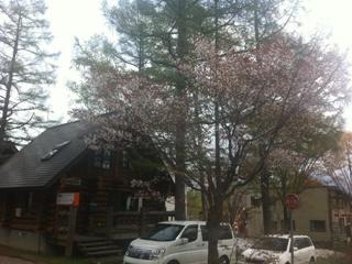 ニセコ桜2