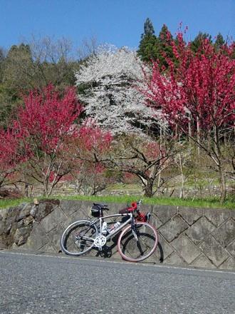 20130405_sakura.jpg