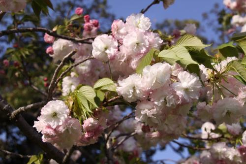 IMG_4435_convert_20130410172003八重桜