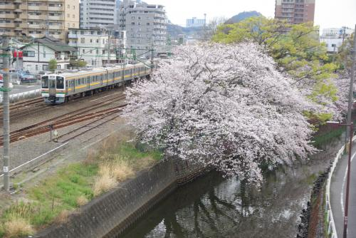 小石川公園近くの桜