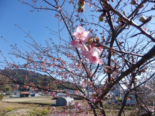 山の手桜 アップ