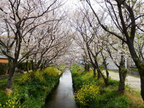 中島川 さくら