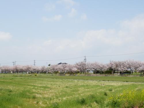 成案寺川 さくら2.