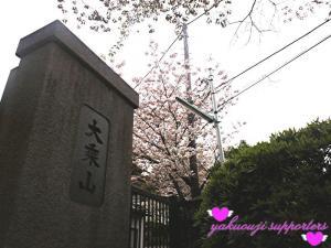 120425_sakura.jpg