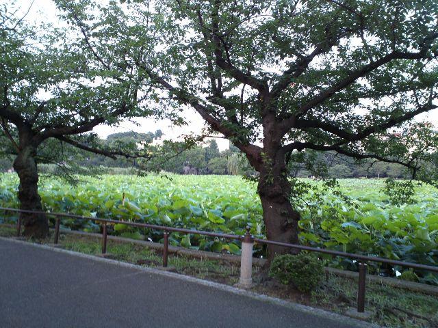 Shinobazu10.jpg