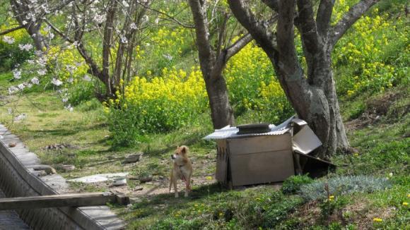 桜と菜の花と柴犬と