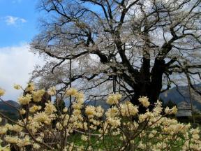 醍醐桜とミツマタの花