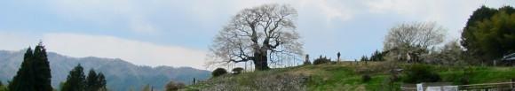 県下一の巨木・醍醐桜