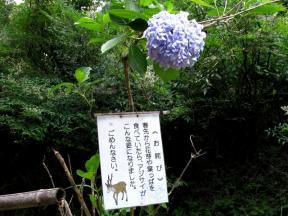 野生動物被害にあった紫陽花