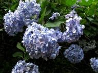 紫陽花の花 その2
