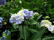 紫陽花の花 その3