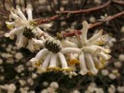 ミツマタの花