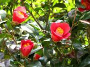 椿の花 イメージ