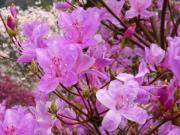 ツツジの花 イメージ