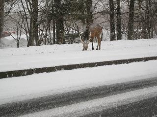 美留和の牡鹿