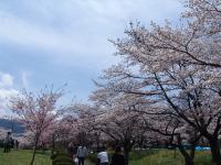 Hitsujiyama_Park_Sakura.jpg